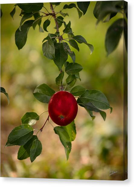 Red Apple Ready For Picking Canvas Print