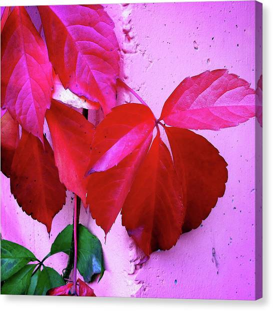 Red Canvas Print - Red Autumnal Leaves And Purple Wall by Matthias Hauser