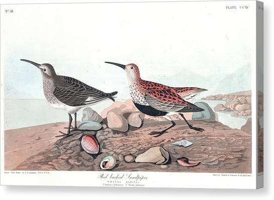 Sandpipers Canvas Print - Red Backed Sandpiper by John James Audubon