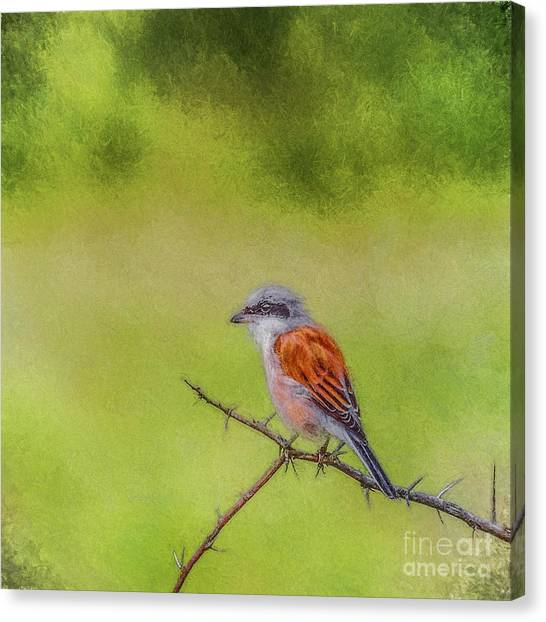 Red-backed Shrike Canvas Print