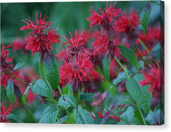 Red Bee Balm Canvas Print