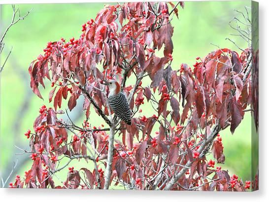 Red Bellied Woodpecker In Dogwood Canvas Print by Alan Lenk