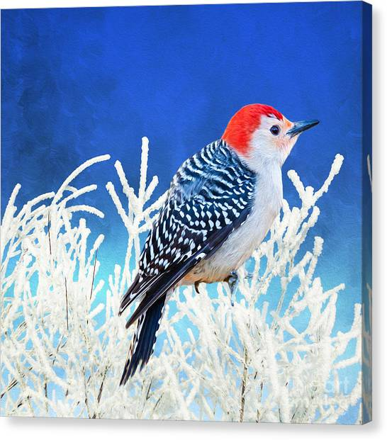 Woodpeckers Canvas Print - Red-bellied Woodpecker by Laura D Young