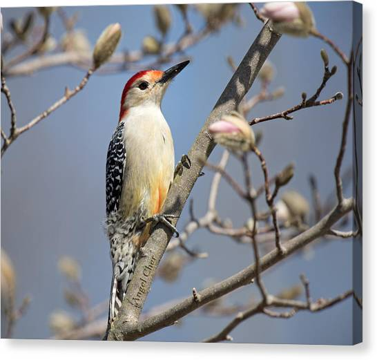 Canvas Print featuring the photograph Red-bellied Woodpecker On Magnolia by Angel Cher