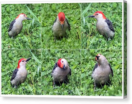 Red-bellied Woodpecker Posing In The Grass Canvas Print