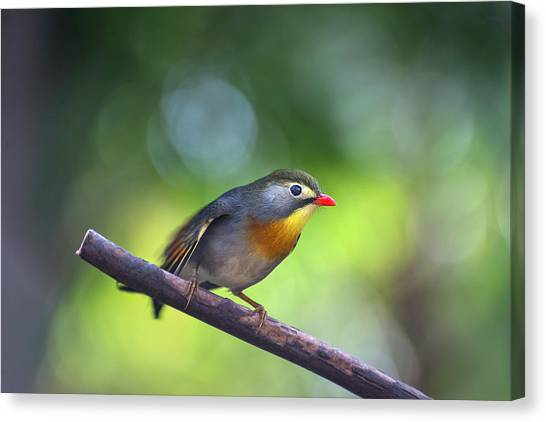 Red Billed Leiothrix Canvas Print