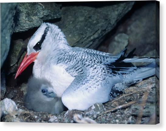 Red-billed Tropicbirds Cuddling  Canvas Print