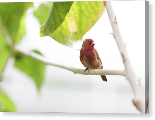 Canvas Print featuring the photograph Red Bird by Raphael Lopez