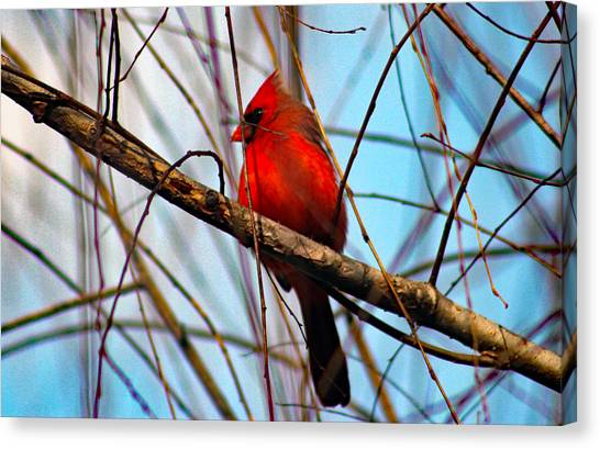 Red Bird Sitting Patiently Canvas Print