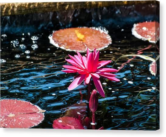 Red Blossom Water Lily Canvas Print