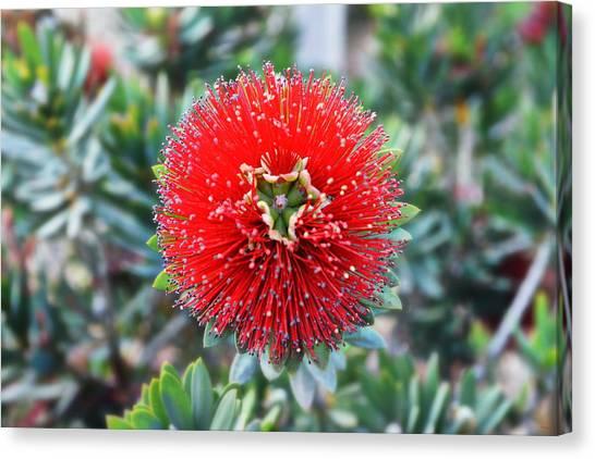 Mimosa Canvas Print - Red Bottlebrush by Glenn McCarthy Art and Photography