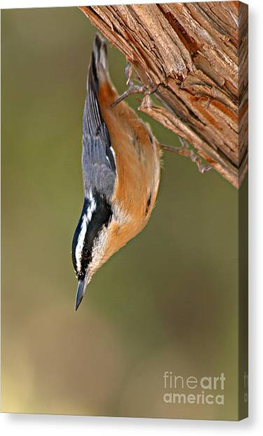 Red-breasted Nuthatch Upside Down Canvas Print