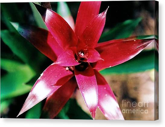 Red Bromelliad Canvas Print by Emily Kelley