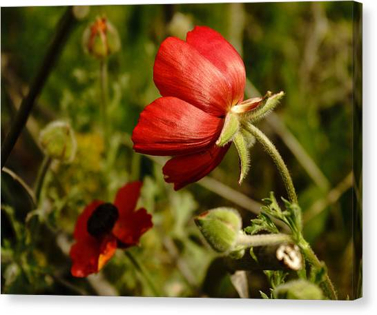 Red Buttercup Canvas Print