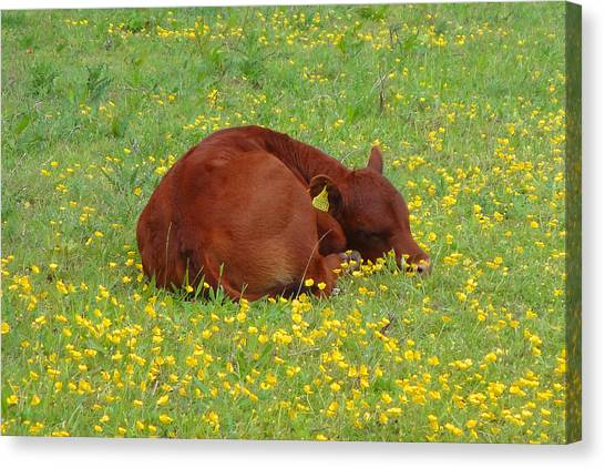 Red Calf In The Buttercup Meadow Canvas Print