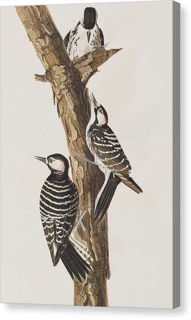 Woodpeckers Canvas Print - Red-cockaded Woodpecker by John James Audubon