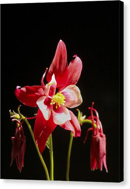 Red Columbine Flower Canvas Print