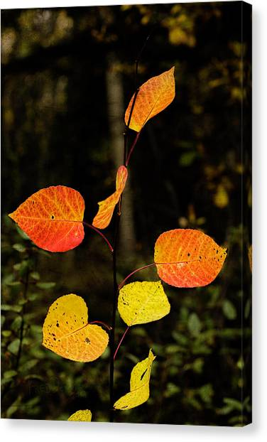 Canvas Print featuring the photograph Red Cottonwood Leaves by Fred Denner