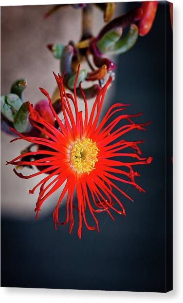 Red Crab Flower Canvas Print