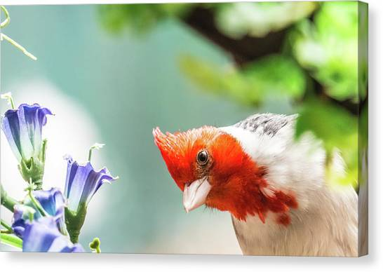 Canvas Print - Red Crested Cardinal by Subhadra Burugula