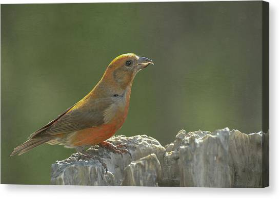 Crossbills Canvas Print - Red Crossbill by Constance Puttkemery