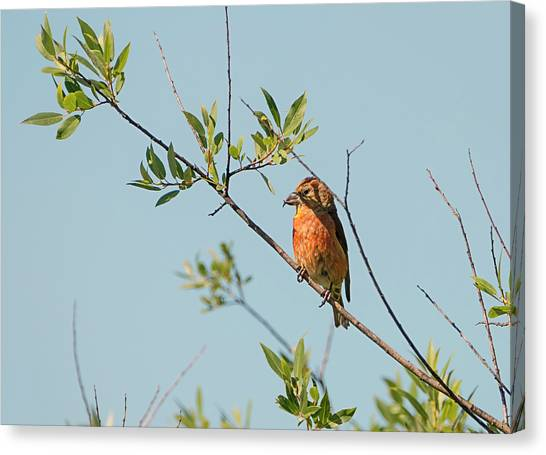 Crossbill Canvas Print - Red Crossbill by Loree Johnson
