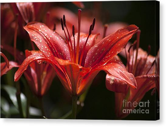 Red Day Lily 20120615_52a Canvas Print