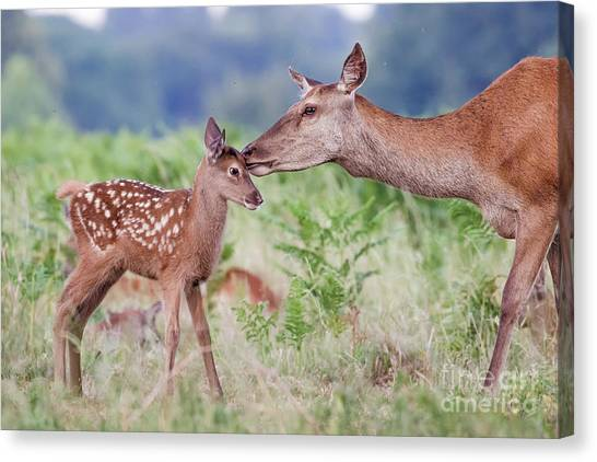 Canvas Print featuring the photograph Red Deer - Cervus Elaphus - Female Hind Mother And Young Baby Calf by Paul Farnfield