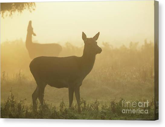 Canvas Print featuring the photograph Red Deer - Cervus Elaphus - Hinds Browsing On Willow On A Misty M by Paul Farnfield