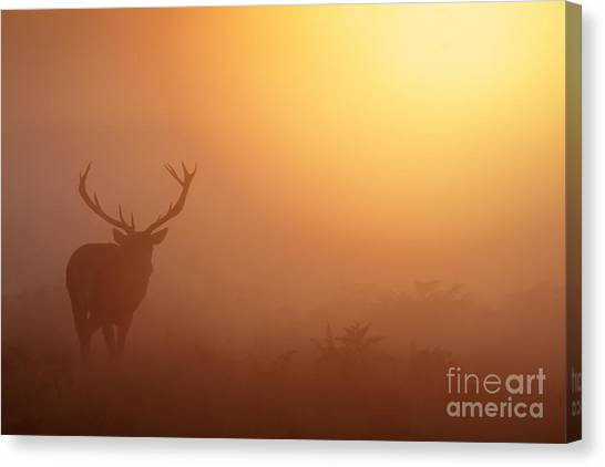 Red Deer Stag At Sunrise Canvas Print