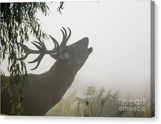 Red Deer Stag - Cervus Elaphus - Bellowing Or Roaring On A Misty M Canvas Print