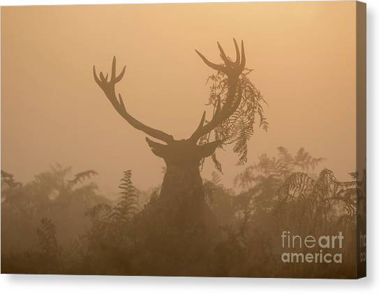 Red Deer Stag Cervus Elaphus Displaying At Sunrise With Bracken On Antlers Canvas Print