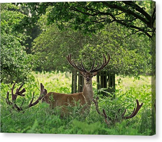 Antlers Canvas Print - Red Deer Stag by Rona Black