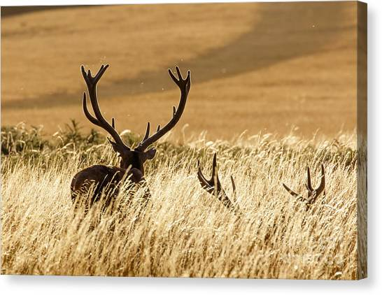 Red Deer Stags At Sunset Canvas Print