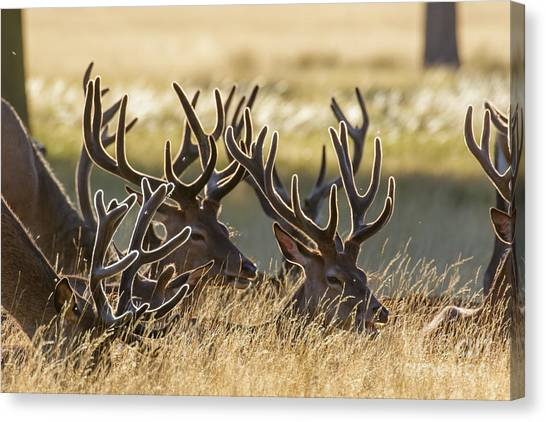 Red Deer Stags In Velvet Canvas Print