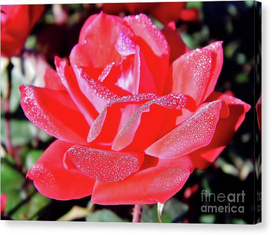 Red - Dew Covered  - Rose Canvas Print