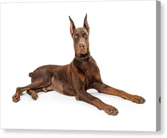 Doberman Pinschers Canvas Print - Red Doberman Pinscher Dog Lying Profile by Susan Schmitz