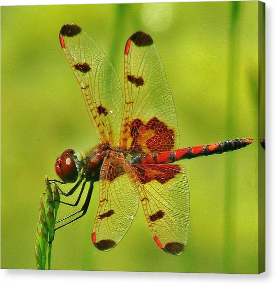 Red Dragonfly Canvas Print by Thomas  McGuire