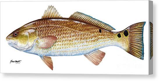 Red Drum  Redfish Canvas Print