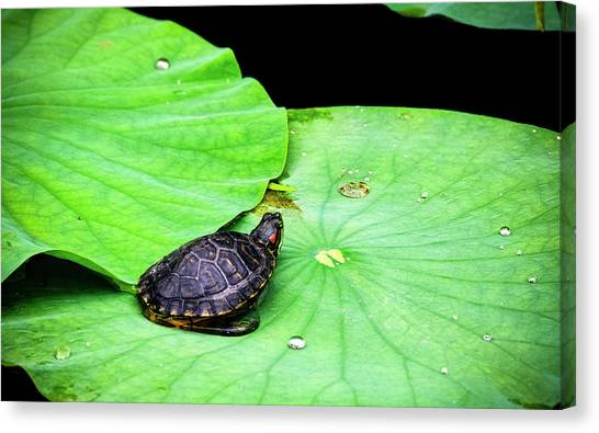 Red-eared Slider Canvas Print