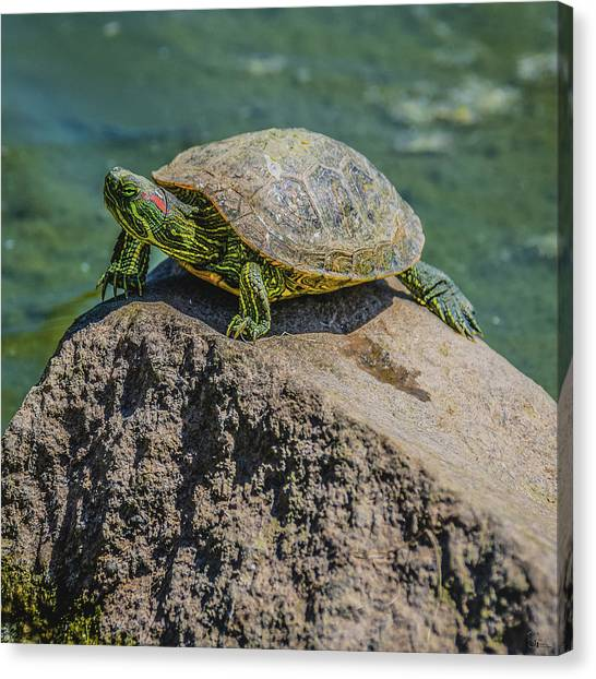 Northridge Csun Canvas Print - Red-eared Slider On A Rock by Kevin Gallagher
