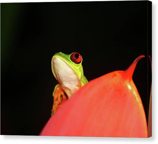 Red-eyed Tree-frog Canvas Print
