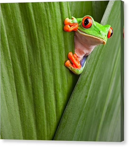 Frogs Canvas Print - Red Eyed Tree Frog  by Dirk Ercken