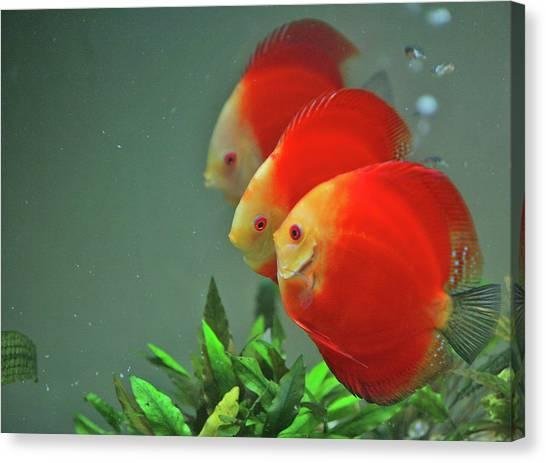 Fish Tanks Canvas Print - Red Fish by Vietnam