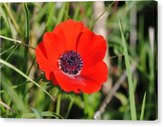Red Anemone Coronaria 4 Canvas Print