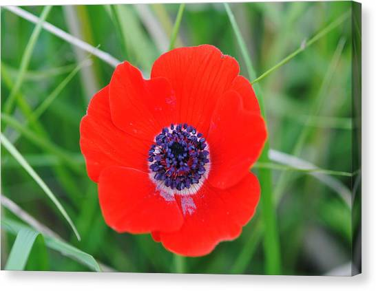 Red Anemone Coronaria 3 Canvas Print