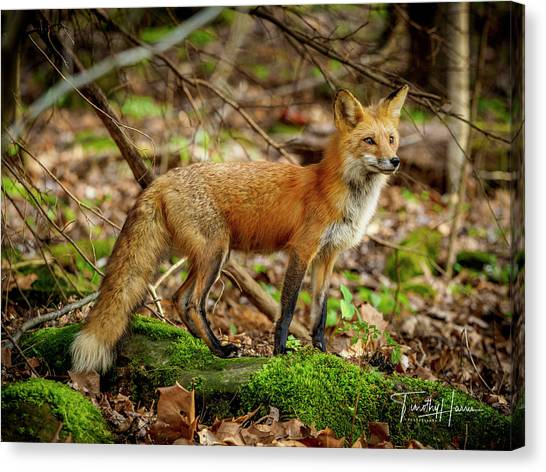 Red Fox #1 Canvas Print