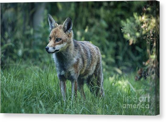 Red Fox Canvas Print by Philip Pound