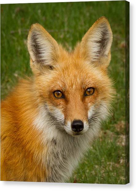 Red Fox Portrait Canvas Print