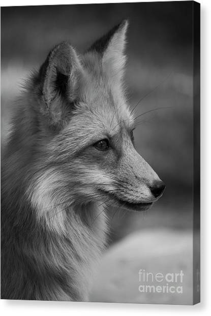 Red Fox Portrait In Black And White Canvas Print